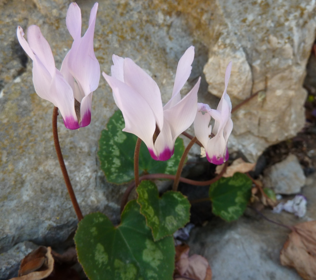 Symi cyclamens growing wild